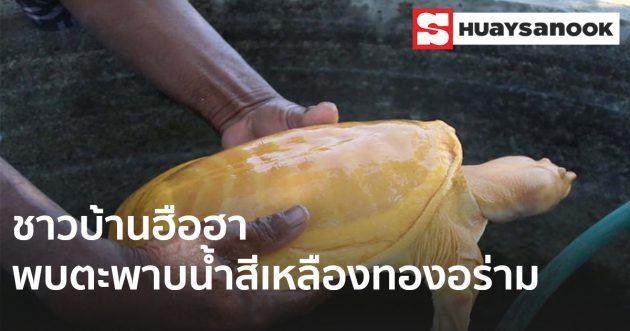 ฮือฮาคอหวยแห่ขอโชค ตะพาบน้ำสีเหลืองทอง